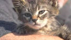 Kitten found glued to Oregon road, rescued by man driving to work
