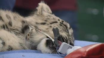 Snow leopard cub undergoes eye surgery at Sacramento Zoo