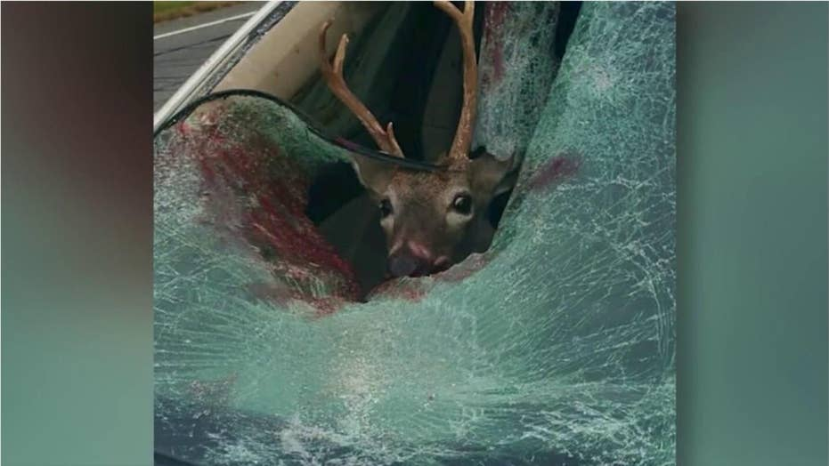 Deer smashes through car windshield, lands in passenger seat