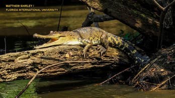 New crocodile species discovered by researchers