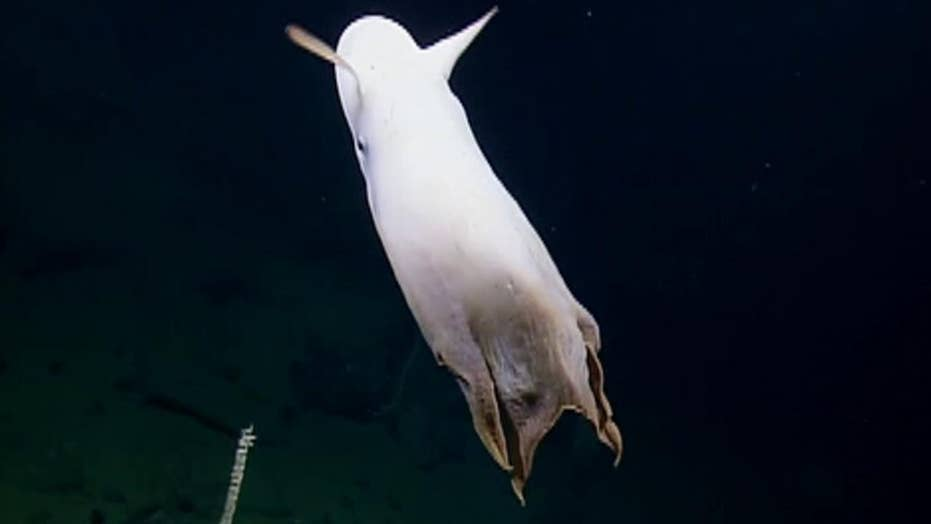 Raw video: Rare Dumbo octopus spotted in the deep sea