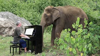 Man plays piano to soothe elephants at Thailand sanctuary