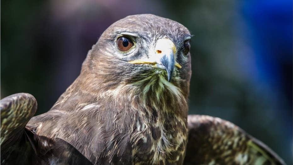 An Air Force falcon mascot suffers vital repairs in Army prank