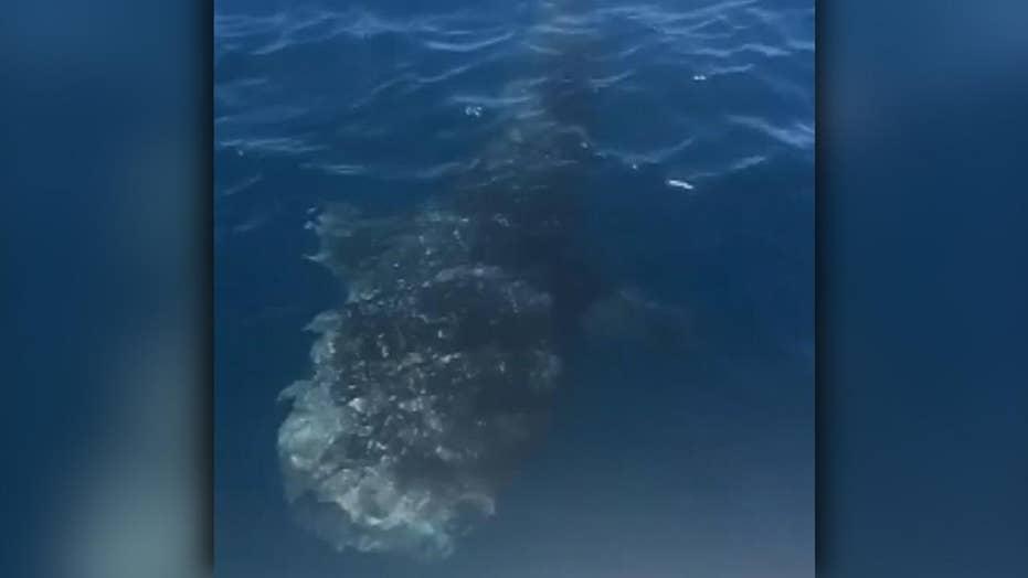 Fishermen locate whale shark off South Carolina coast