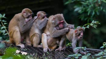 America reportedly suffering monkey shortage for coronavirus vaccine search
