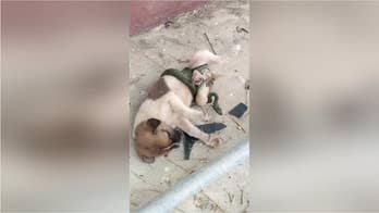 Shocking video: Puppy rescued from snake in Thailand