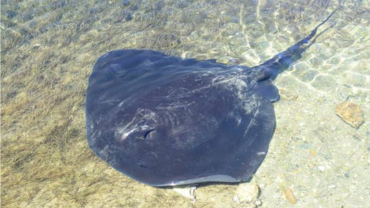 Australian man allegedly killed by stingray