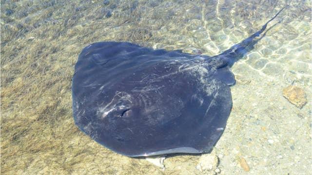 Australian man allegedly killed by stingray