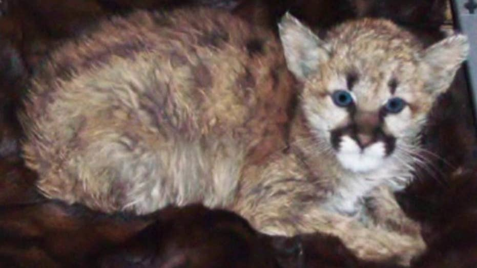 Baby mountain lion removed from home after anonymous tip