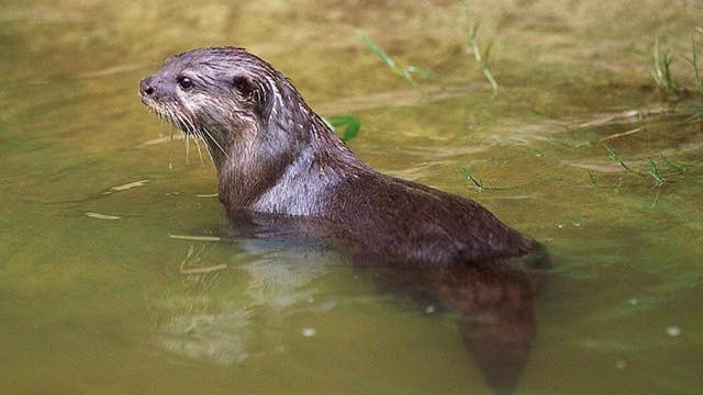 Otter terrorizes Chinese garden in Vancouver