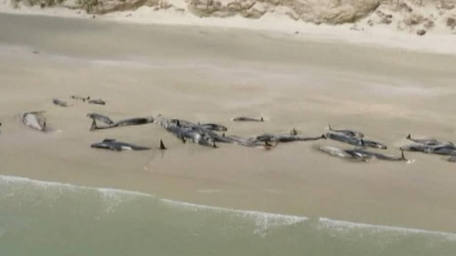 145 whales die after stranding themselves in New Zealand