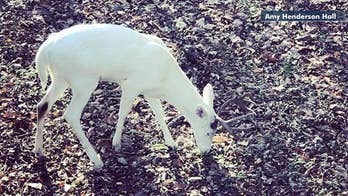 Rare albino 12-point buck spotted in Tennessee
