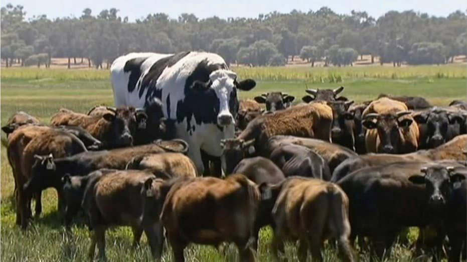 Enormous bovine goes viral, saved from the slaughterhouse