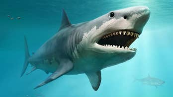 Megalodon may have gone extinct for this shocking reason