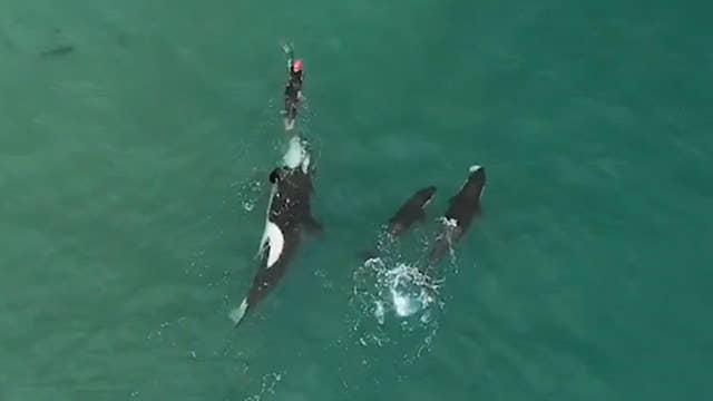 Watch dramatic video as killer whales approach lone swimmer