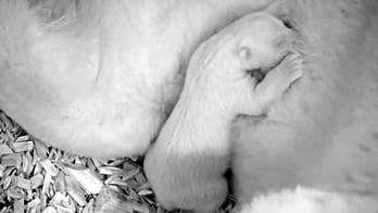 Adorable polar bear cub opens its eyes for the very first time