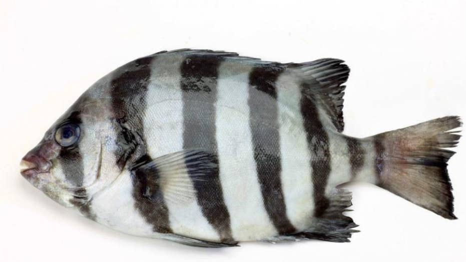 Japanese 'tsunami fish,' the barred knifejaw, found off the California coast seven years later