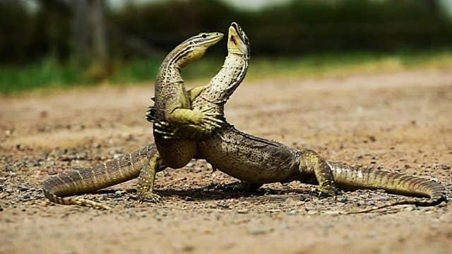 Australian lizards caught in bloody battle