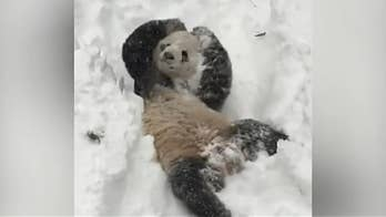National Zoo's Christmas post of giant panda rolling around in snow goes viral