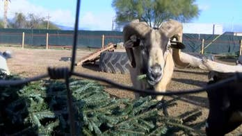 Goats provide unique way to recycle your Christmas tree