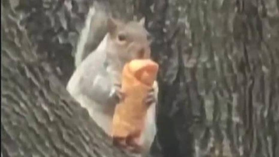New York squirrel seen eating egg roll in a tree
