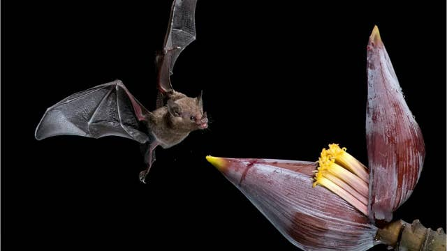 Incredible images show bat drinking nectar from a flower