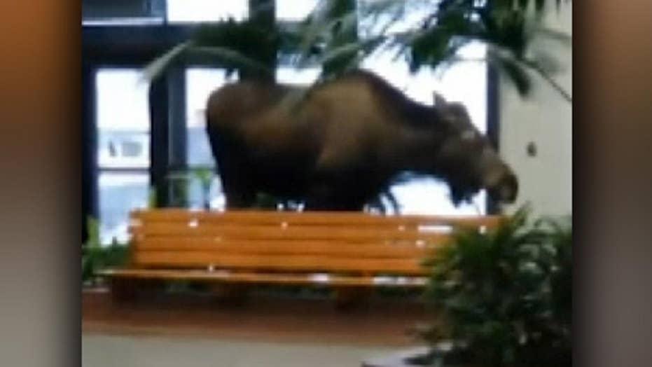 Hungry moose wanders into Alaska hospital and eats some plants