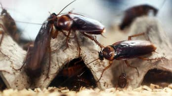 Horrified man discovers dozens of large cockroaches hiding inside wall-mounted landline
