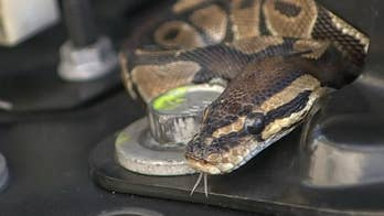 South Florida man finds snake wrapped around his car's engine