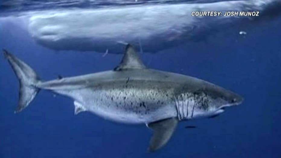 Rare shark sighting: Great white known as 'Deep Blue' spotted in Hawaii waters