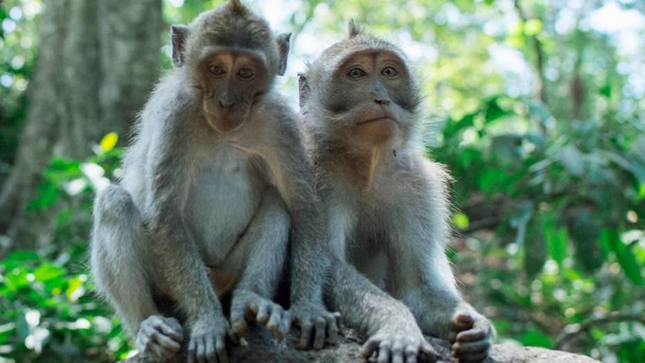 Gang of monkeys fatally chases Indian woman
