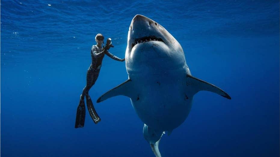 World's largest great white shark