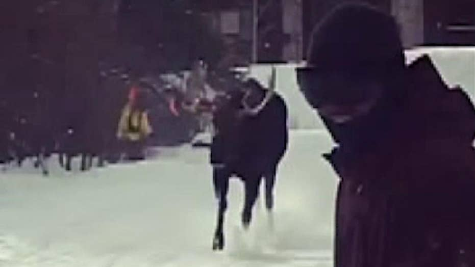 Raw video: Bull moose charges skiers in Breckenridge, Colorado