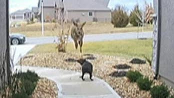 Deer leaps over family's dog in bizarre home surveillance video