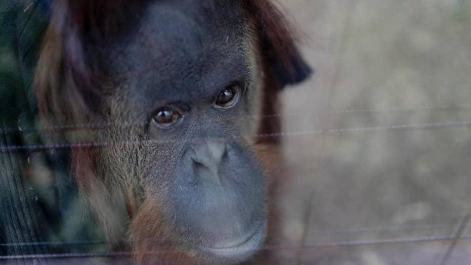 Orangutan bites zoo volunteer during encounter, detaches thumb