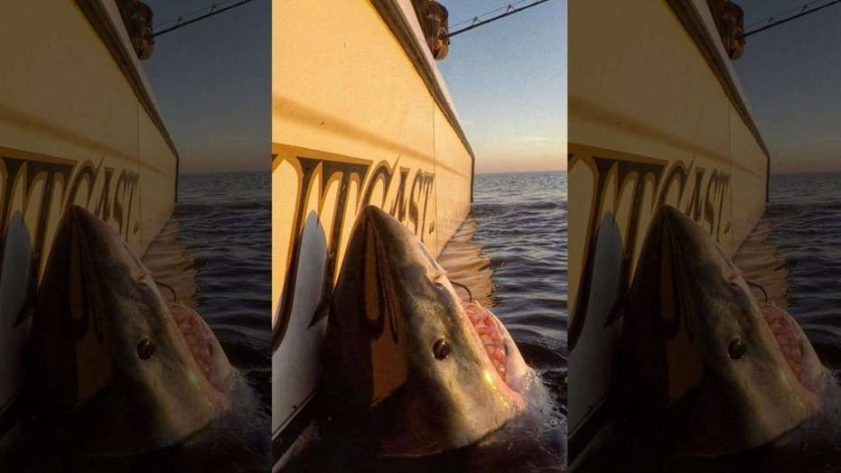 South Carolina fisherman hooks massive great white shark