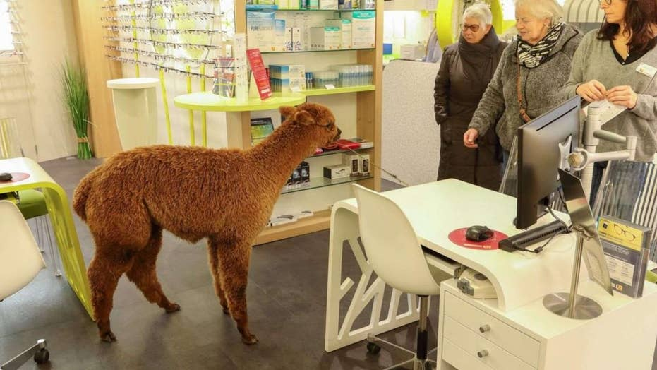 Alpaca wandered into optician's office then captured by police
