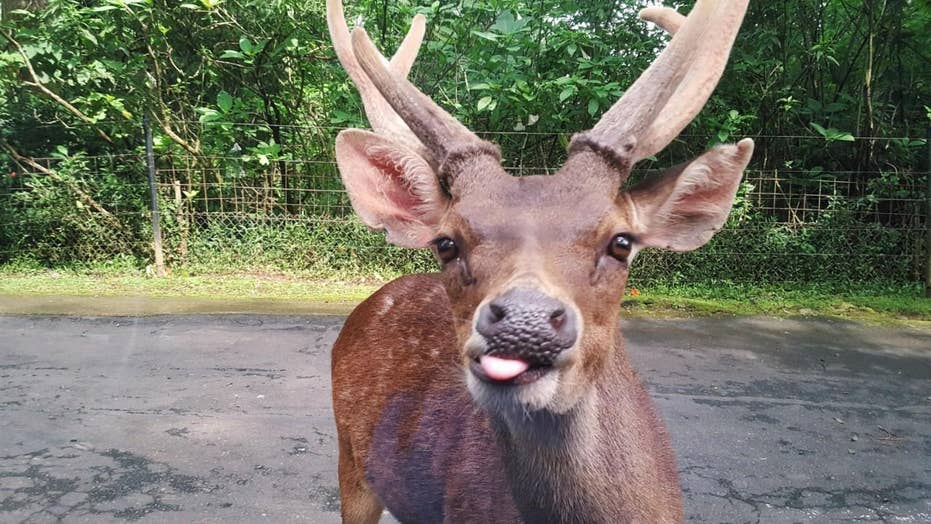 Minnesota wildlife officials shoot mule deer exhibiting 'strange behavior'