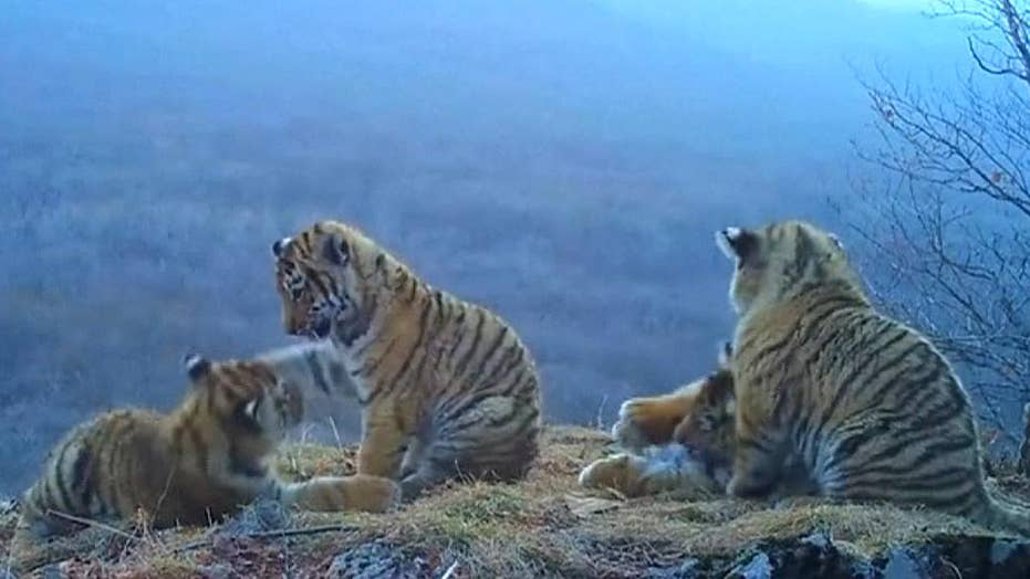 Siberian tiger cubs seen playing in rare new video footage