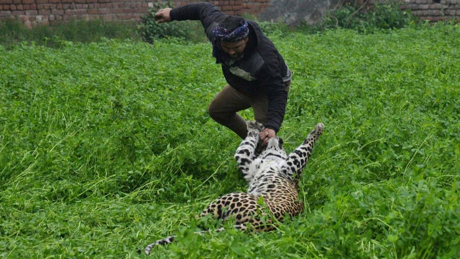 Stray leopard goes on rampage in India, attacks four people