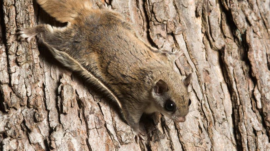 Wisconsin biologist shocked to find hot pink flying squirrels