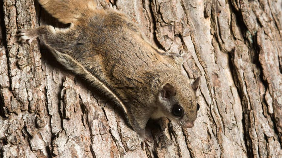 Hot Pink Flying Squirrels Wisconsin Biologist Shocked To