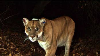 Idaho woman accidentally grabs mountain lion during attempt to break up 'dog fight'