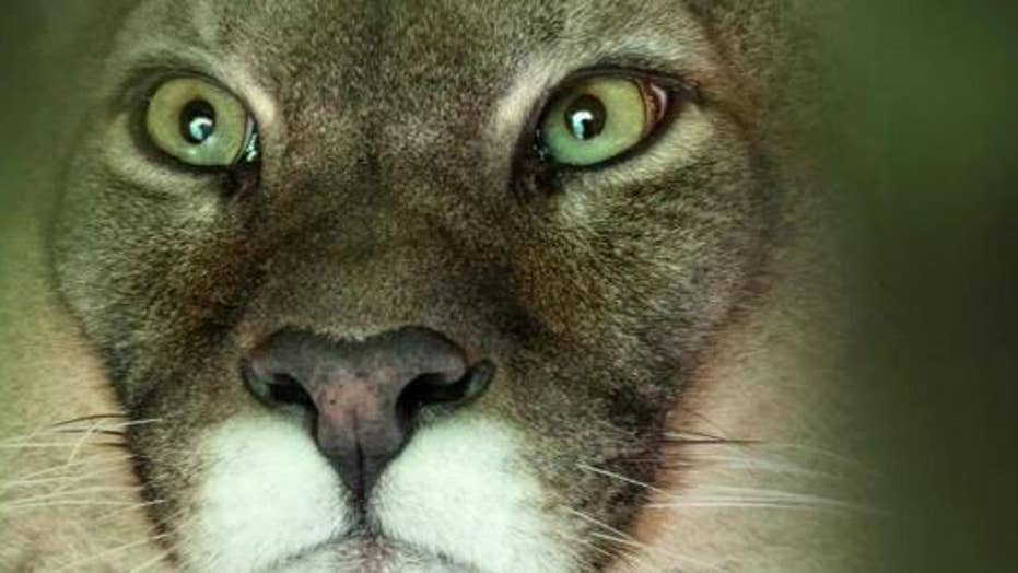 A Colorado runner fights off a cougar attack during a trail run