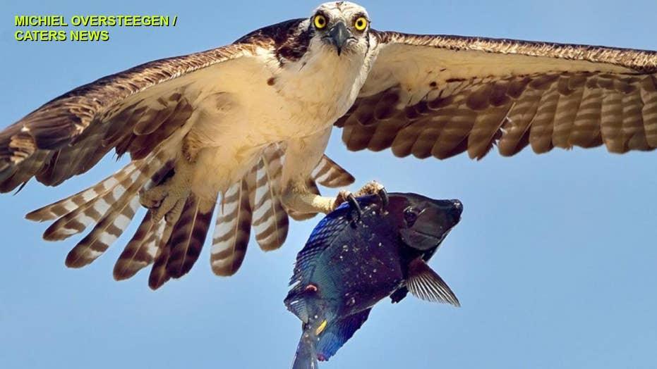 STUNNING IMAGES: Osprey carries off vibrant-blue coral reef fish in Aruba