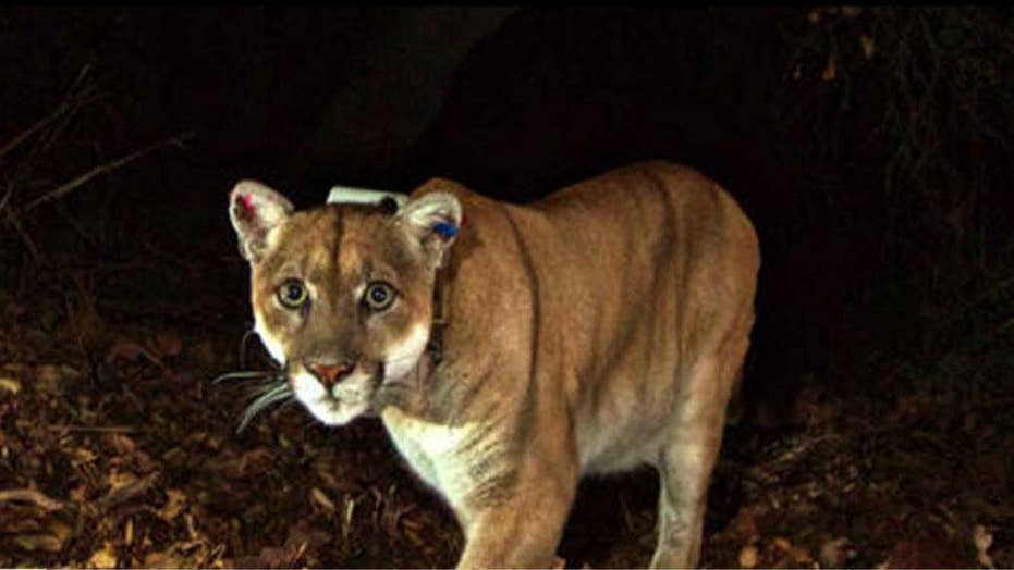 Colorado man kills mountain lion with bare hands