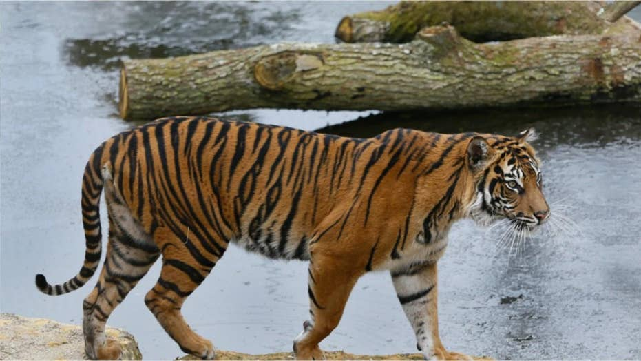 Rare Sumatran tiger at London zoo killed by prospective mate moments after being introduced