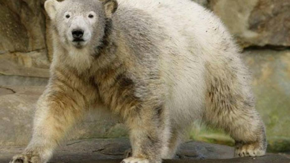 More than 50 polar bears invade Russian village