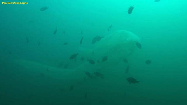 Diver gets close encounter with rare sea serpent