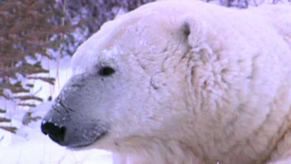 Reports: Dozens of polar bears invade remote Russian town